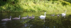 Swans and signets on the K&A canal